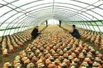 """长白林丰菌业,采取""""公司+基地+实体店+互联网""""的发展模式,拥有全国桑黄面积最大的种植基地。 - 新浪吉林"""