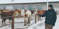 张志佳通过直播卖牛。 赵猛佳 摄 - 新浪吉林