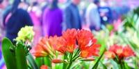 盛开的君子兰花。赵滨 摄 - 新浪吉林