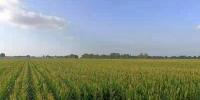 松原市乾安县大遐畜牧场的玉米地。 左雨晴 摄 - 新浪吉林